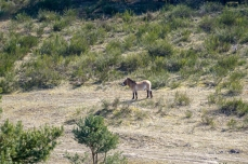 Przewalski Wildpferde