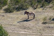 Przewalski Wildpferde (der Blick des Pferdes ist grandios 😀)