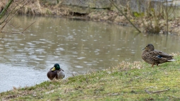 Enten am Teich