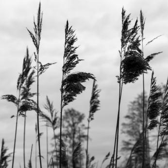 Schilfgras im Wind