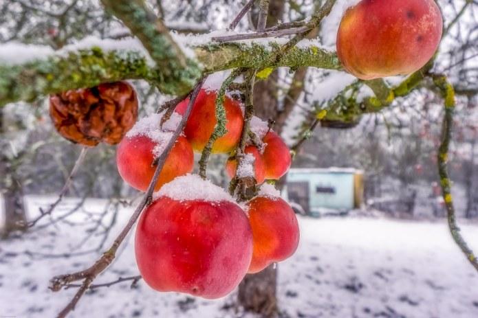 Ast mit Apfel im Januar 2019