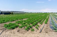 Gemüsefeld mit Gewächshaus