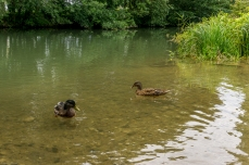 Enten am Alten Kanal in Forchheim