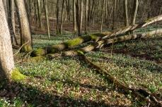 Märzenbecherwald