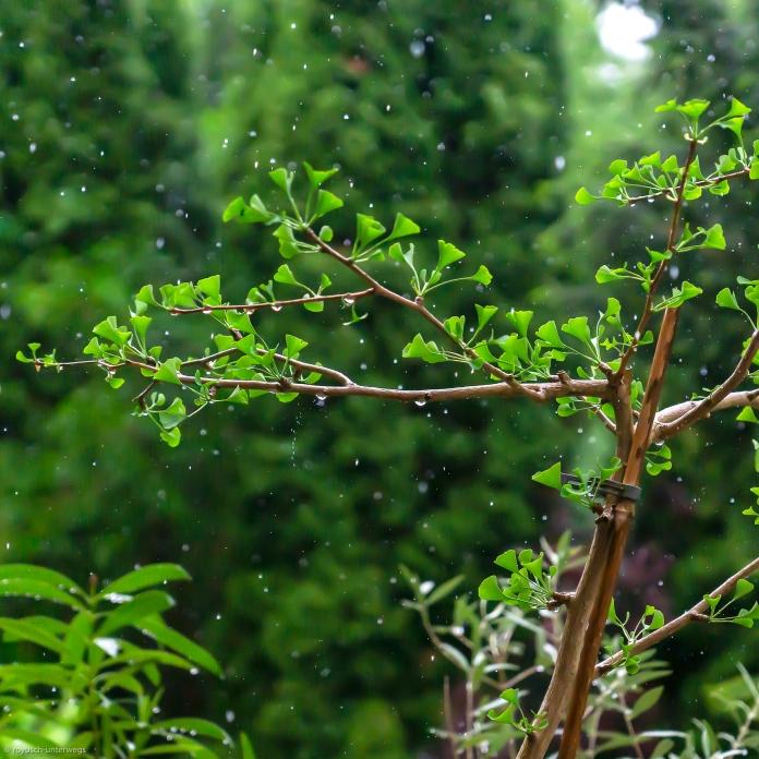 Ginkgo im Regen